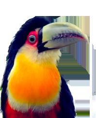 Green-billed Toucan