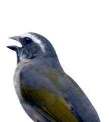 Green-winged Saltator